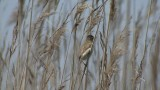 Video of Paddyfield Warbler - Singing Paddyfield Warbler near to the lake