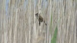 Video of Paddyfield Warbler