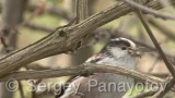 Video of Long-tailed Tit