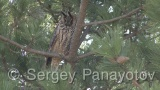 Video of Long-eared Owl