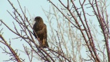 Video of Common Buzzard