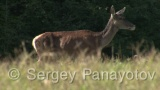 Video of Red Deer - Red Deer in the summer forest
