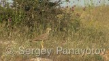 Video of Eurasian Thick-knee