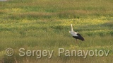 Video of White Stork - White Stork in the lake