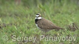 Video of Little Ringed Plover