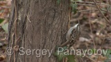 Video of Short-toed Tree-creeper