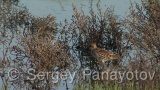 Video of Little Stint