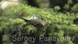 Video of Eurasian Siskin - Eurasian Siskin in the winter