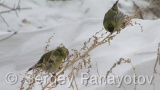 Video of Eurasian Siskin - Eurasian Siskin in the winter on the snow