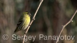 Video of Eurasian Siskin - Eurasian Siskin perched on vine branch in winter