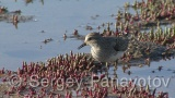 Video of Temminck's Stint