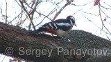 Video of Great Spotted Woodpecker - Great Spotted Woodpecker is eating
