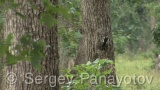 Video of Great Spotted Woodpecker - Great Spotted Woodpecker in the spring forest