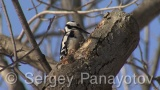 Video of Great Spotted Woodpecker - Great Spotted Woodpecker in the winter forest