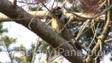 Video of Lesser Spotted Woodpecker - Lesser Spotted Woodpecker is eating in the forest