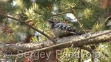 Video of Lesser Spotted Woodpecker - Lesser Spotted Woodpecker in the winter forest