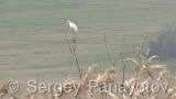 Video of Great Egret - Great Egret in the forest near to the lake