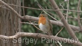 Video of European Robin
