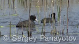 Video of Common Coot