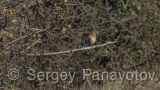 Video of Red-breasted Flycatcher