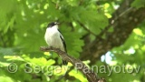 Video of Semi-collared Flycatcher - Semicollared Flycatcher in nest period singing near to the nest