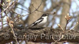 Video of Semi-collared Flycatcher