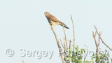 Video of Common Kestrel