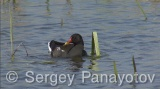 Video of Common Moorhen