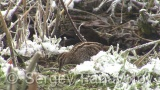 Video of Common Snipe