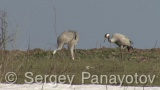 Video of Common Crane