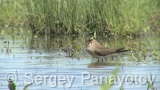 Video of Collared Pratincole