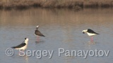 Video of Black-winged Stilt