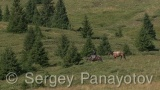 Video of Horses - Horses in the forest near to the grass field of Central balkan mountain