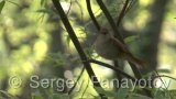 Video of Common Nightingale