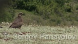 Video of Black Kite - Black Kite is eating in eastern rodopi