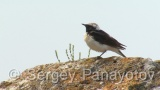 Video of Pied Wheatear