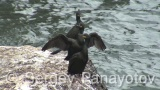 Video of European Shag