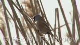 Video of Bearded Parrotbill