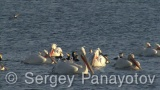 Video of Dalmatian Pelican
