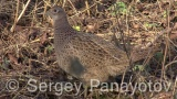 Video of Common Pheasant - Pheasant finding food in grasslands and bushes.
