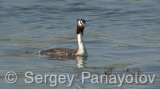 Video of Great Crested Grebe