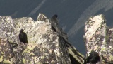 Video of Yellow-billed Chough - Yellow-billed Chough fly in the sky in Bulgarian mountains