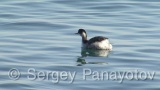 Video of Black-necked Grebe - Black-necked Grebe in the water of sea in the winter