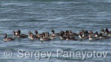 Video of Black-necked Grebe - Black-necked Grebe in the early spring in the water of sea