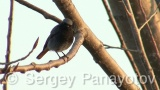 Video of Black Redstart