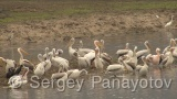 Video of Great White Pelican