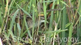Video of Little Crake