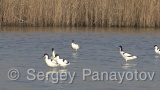 Video of Pied Avocet