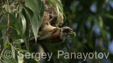 Video of Eurasian Penduline-tit - Eurasian Penduline-tit gives food to their young chicks in the nest