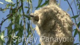Video of Eurasian Penduline-tit - Eurasian Penduline-tit  built a nest of lakeside willow at the beginning of breeding season